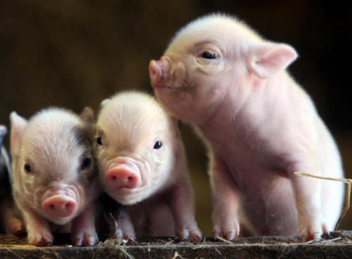 Pig-facts-baby-pigs
