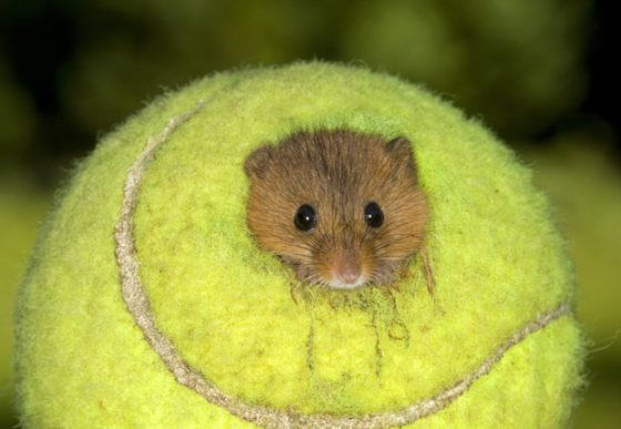 mouse-tennis-ball_2013661i