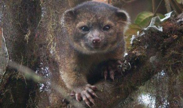 olinguito-mammal-species-422303