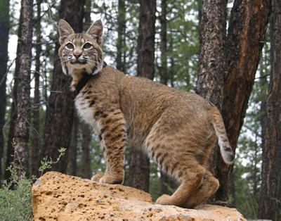 Adult_Bobcat