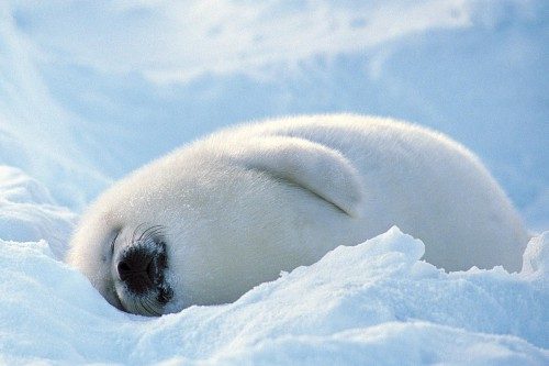 blissfully-cute-baby-animals-baby-seal