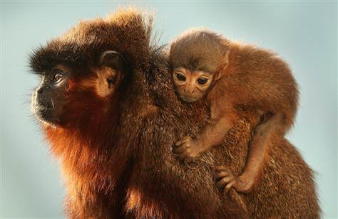 100720-titi-monkey-3a.grid-6x2