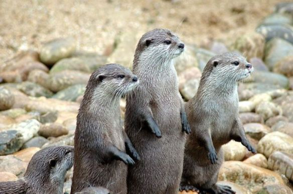 1024px-otters_in_a_row-970x0