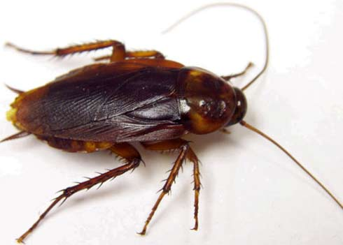 american-cockroach-1
