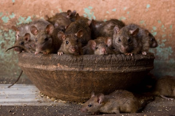 Bowl-of-Rats-at-Karni-Mata