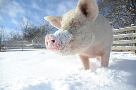 2014_02-06_fsny_the-doctor_pig_dsc_2205_credit_farm_sanctuary