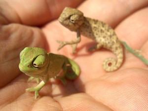 reptile,animals,chameleon,cute,chameleons,lizards-004f42dce95017f4a8946cc8fe56254b_h