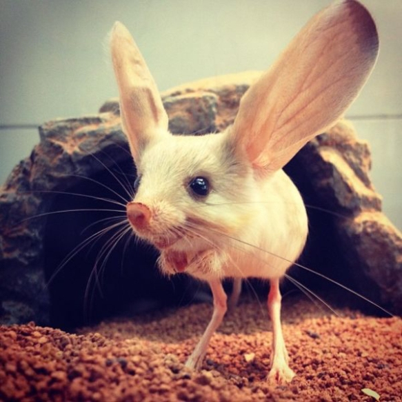this-rodent-is-a-long-eared-jerboa-it-hops-around-like-a-kangaroo-imgur