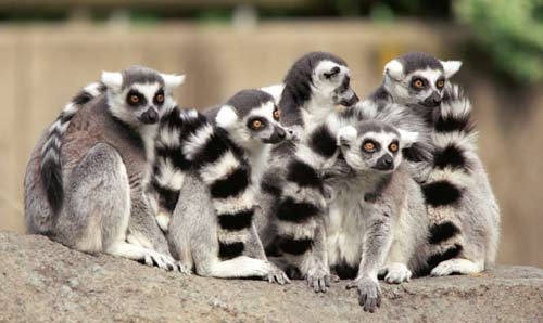 lemurs_ringgroup