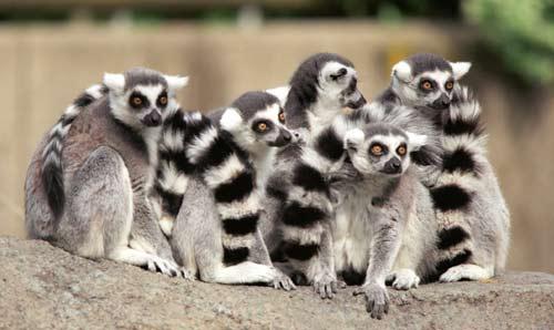 lemurs_ringgroup
