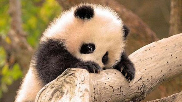 Baby-panda-giant-bucket-of-cute