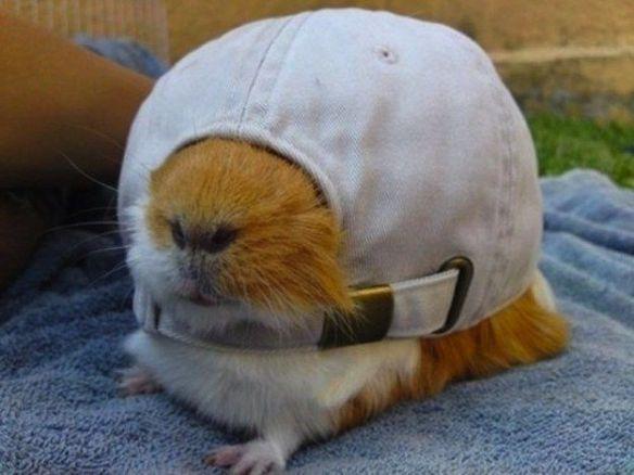 hat-guinea-pig