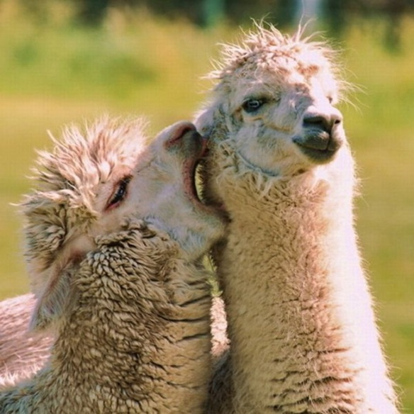 seriously-goofy-alpacas