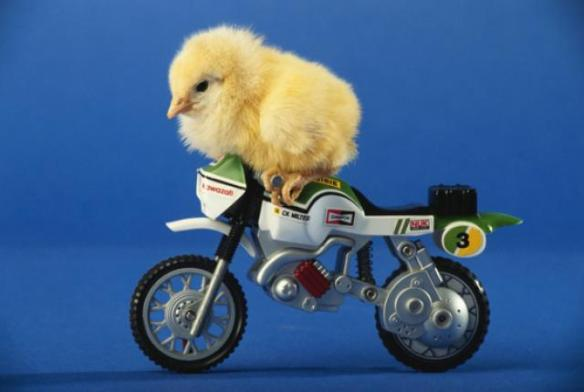 chicken-motorcycle_5